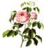 Rose-Otto